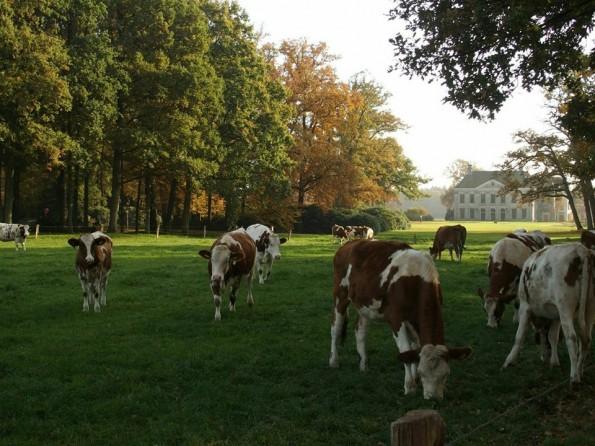 Het Landhuis op de achtergrond wordt vanwege dit spookverhaal ook wel Het Zwarte Huis genoemd. Gelukkig hebben deze onschuldige koeien daar geen weet van!