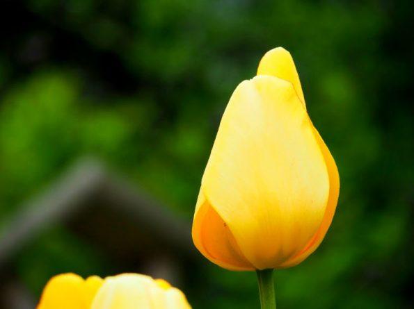 Fotografie Olympus Tulp