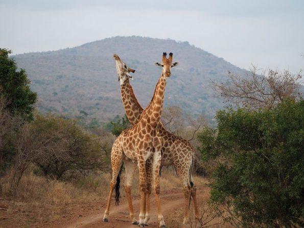 Camp Shonga giraffes
