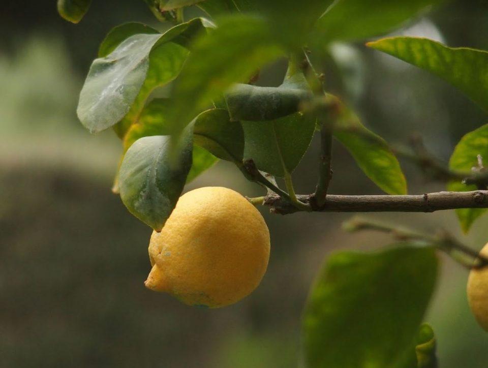 In de prachtige tuinen van Castello di Verrazzano vind je onder andere deze fraaie citroenbomen.