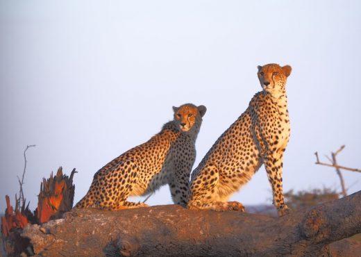 Camp Shonga cheetahs Zuid-Afrika
