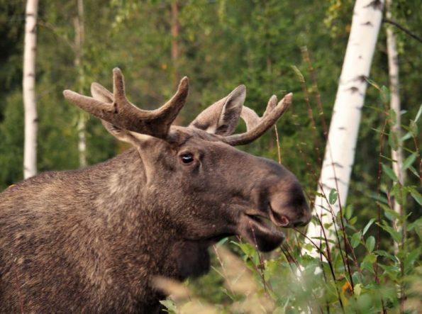 Zweeds Lapland zomer Voigt