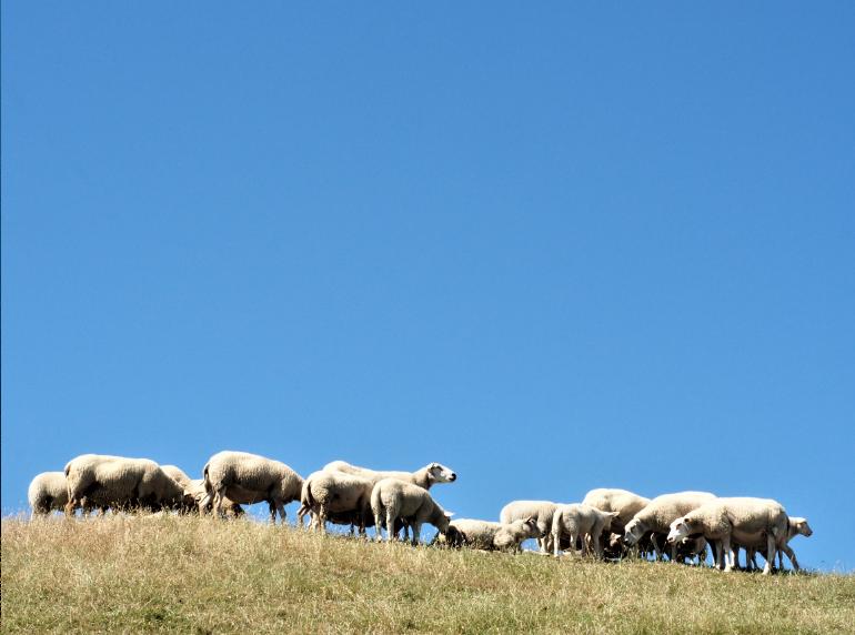 Groningen schapen