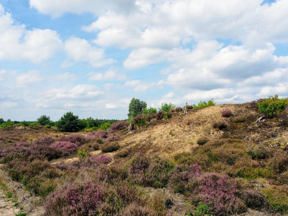Heide bloei